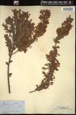 Image of Acacia vestita