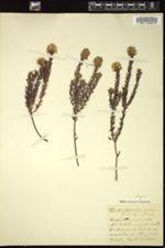Image of Amphithalea ericifolia