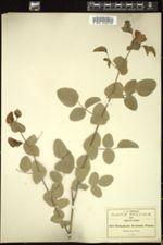 Image of Brongniartia inconstans