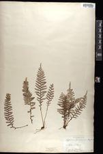Image of Polypodium tamariscinum