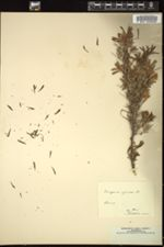 Image of Caragana spinosa