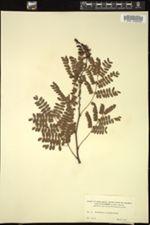 Image of Caesalpinia paipai