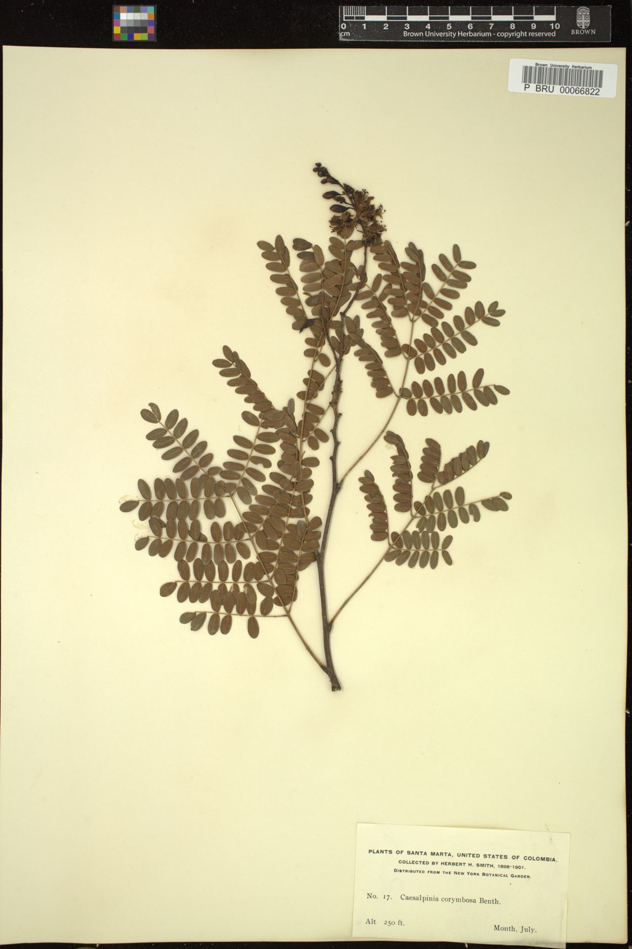 Caesalpinia paipai image