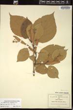 Image of Tilia sargentiana