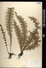 Image of Lindsaea falcata