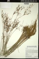 Thumbnail for <i>Juncus anthelatus</i> <i></i> …