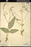Thumbnail for <i>Desmodium asperum</i> <i></i> …