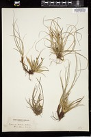 Thumbnail for <i>Carex umbellata</i> <i></i> …