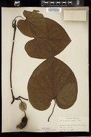Thumbnail for <i>Aristolochia macrophylla</i> <i></i> ...