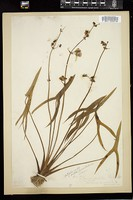 Thumbnail for <i>Sagittaria latifolia</i> <i></i> …