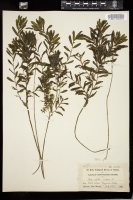 Thumbnail for <i>Potamogeton crispus</i> <i></i> ...
