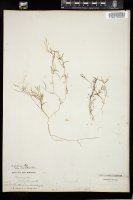 Thumbnail for <i>Potamogeton foliosus</i> <i></i> ...