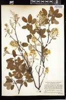 Thumbnail for <i>Amelanchier laevis</i> <i></i> …