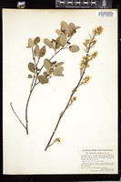 Thumbnail for <i>Amelanchier stolonifera</i> <i></i> …