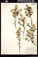 Thumbnail for <i>Amelanchier saxatilis</i> <i></i> …