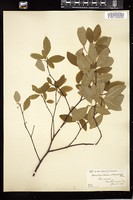 Thumbnail for <i>Amelanchier oligocarpa</i> <i></i> …