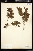 Thumbnail for <i>Crataegus arborescens</i> <i></i> ...
