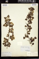 Thumbnail for <i>Crataegus apiifolia</i> <i></i> ...