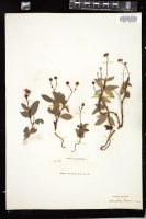 Thumbnail for <i>Chimaphila menziesii</i> <i></i> …