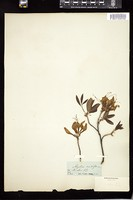 Thumbnail for <i>Rhododendron periclymenoides</i> <i></i> …