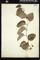Thumbnail for <i>Smilax glauca</i> <i></i> ...