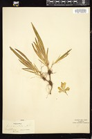 Thumbnail for <i>Iris cristata</i> <i></i> ...