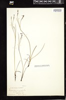 Thumbnail for <i>Sisyrinchium anceps</i> <i></i> …