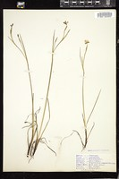 Thumbnail for <i>Sisyrinchium angustifolium</i> <i></i> …