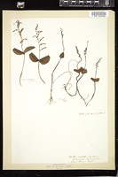 Thumbnail for <i>Listera cordata</i> <i></i> ...