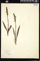 Thumbnail for <i>Spiranthes cernua</i> <i></i> …
