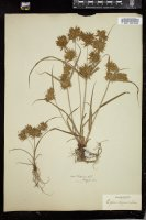 Thumbnail for <i>Cyperus strigosus</i> <i></i> …