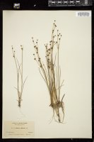 Thumbnail for <i>Juncus alpinus</i> <i></i> …