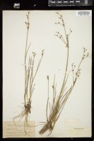 Thumbnail for <i>Juncus alpinoarticulatus</i> <i></i> …