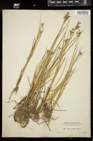 Thumbnail for <i>Juncus acuminatus</i> <i></i> …
