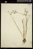 Thumbnail for <i>Juncus articulatus</i> <i></i> …