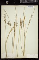Thumbnail for <i>Juncus arcticus</i> <i></i> …