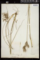 Thumbnail for <i>Juncus dichotomus</i> <i></i> …
