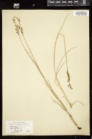 Thumbnail for <i>Juncus gerardii</i> <i></i> …