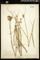 Thumbnail for <i>Juncus torreyi</i> <i></i> …