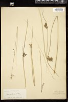 Thumbnail for <i>Juncus patens</i> <i></i> …