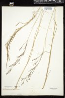 Thumbnail for <i>Agrostis capillaris</i> <i></i> …