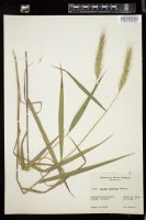 Thumbnail for <i>Elymus riparius</i> <i></i> ...