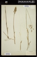 Thumbnail for <i>Anthoxanthum nitens</i> <i></i> …