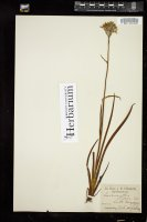 Thumbnail for <i>Lachnanthes tinctoria</i> <i></i> ...