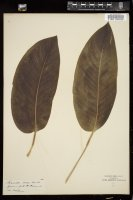 Thumbnail for <i>Maranta roseo-lineata</i> <i></i> ...