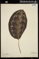 Thumbnail for <i>Maranta veitchii</i> <i></i> ...