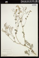 Thumbnail for <i>Corydalis sempervirens</i> <i></i> ...