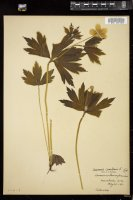 Thumbnail for <i>Anemone canadensis</i> <i></i> ...