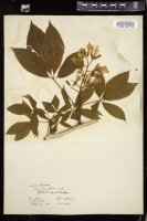 Thumbnail for <i>Aesculus flava</i> <i></i> ...