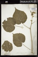 Thumbnail for <i>Abutilon avicennae</i> <i></i> ...